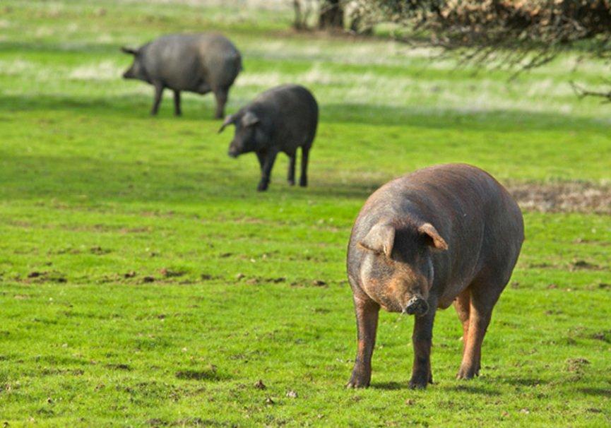 Medium cerdo iberico