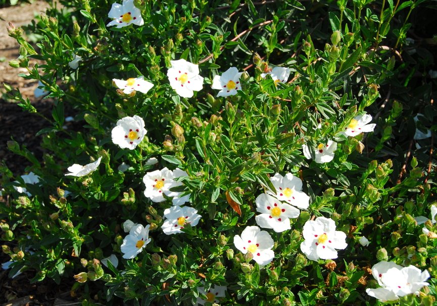 Medium cistus ladanifer