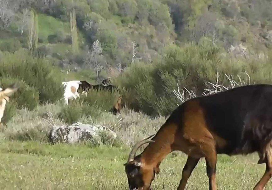 Medium cabra serrana 2