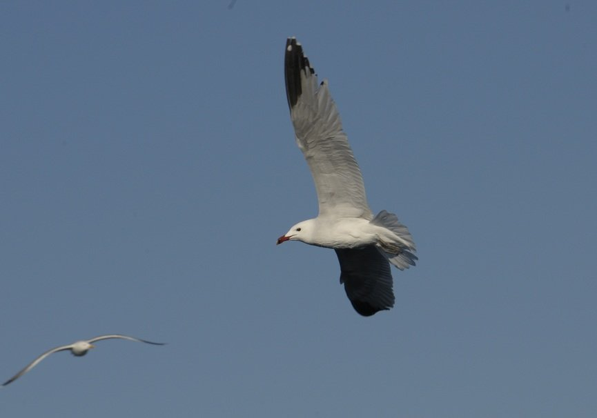 Medium gaviota de audouin