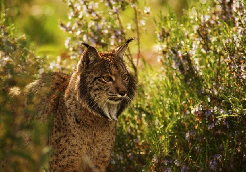 Medium iberian lynx endrino03
