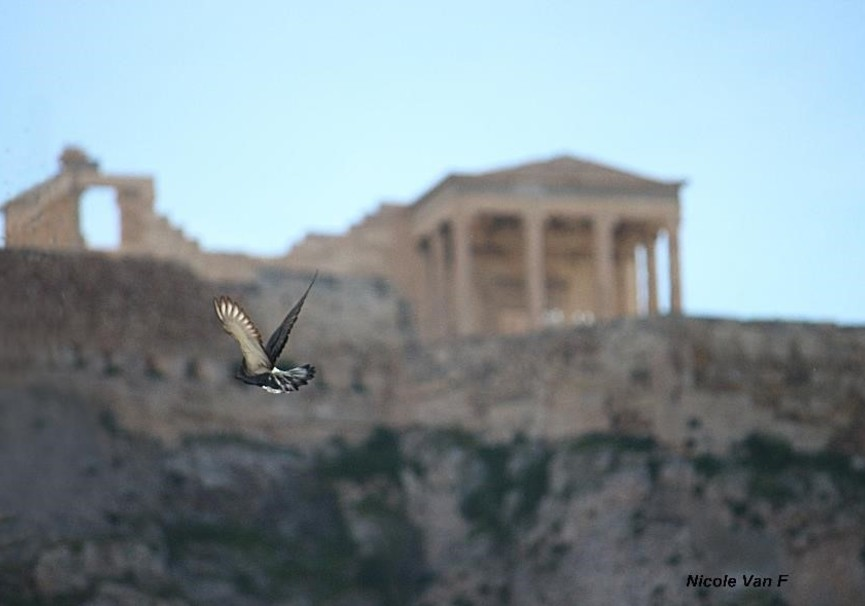 Medium bird and acropolis athens eco tour