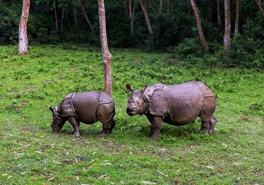 Medium rhinos at chitwan