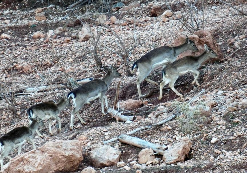 Medium ciervo cazorla