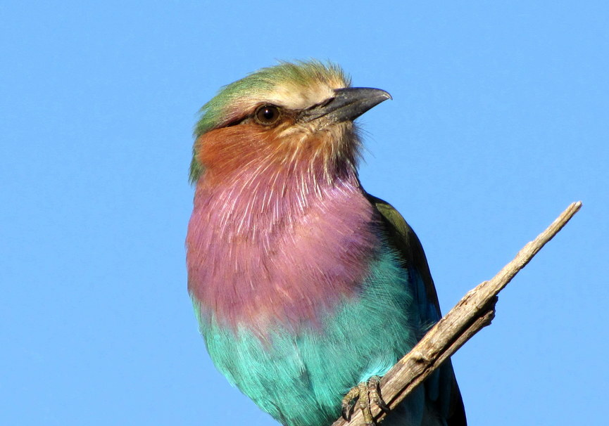 Medium lilac breasted roller