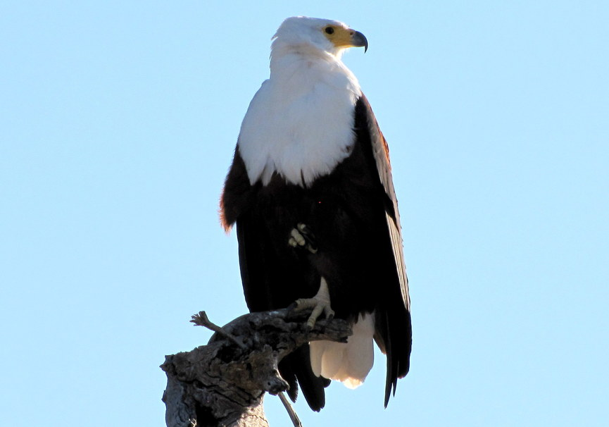 Medium african fish eagle  2