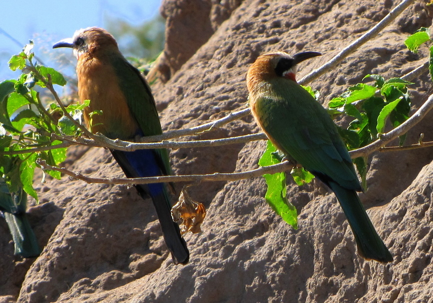 Medium whitefronted bee eaters