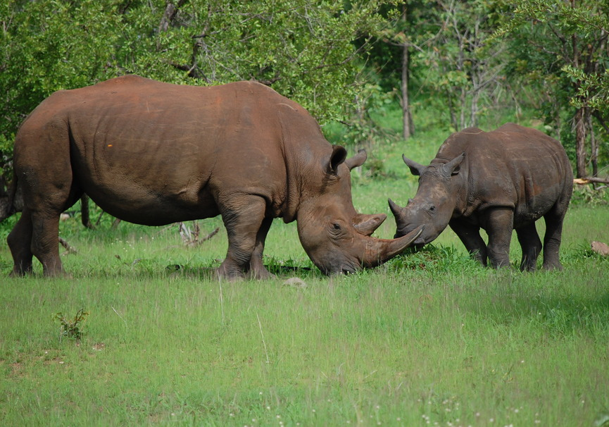 Medium rhino mum with baby