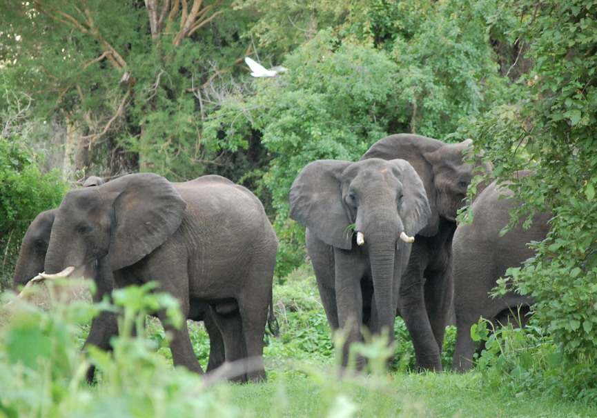 Medium elefant herd