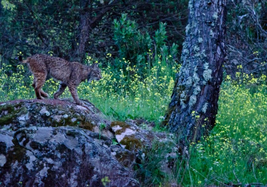 Medium lynx 1632