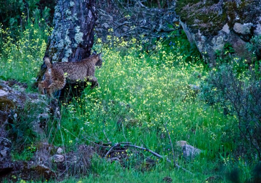 Medium lynx 1651