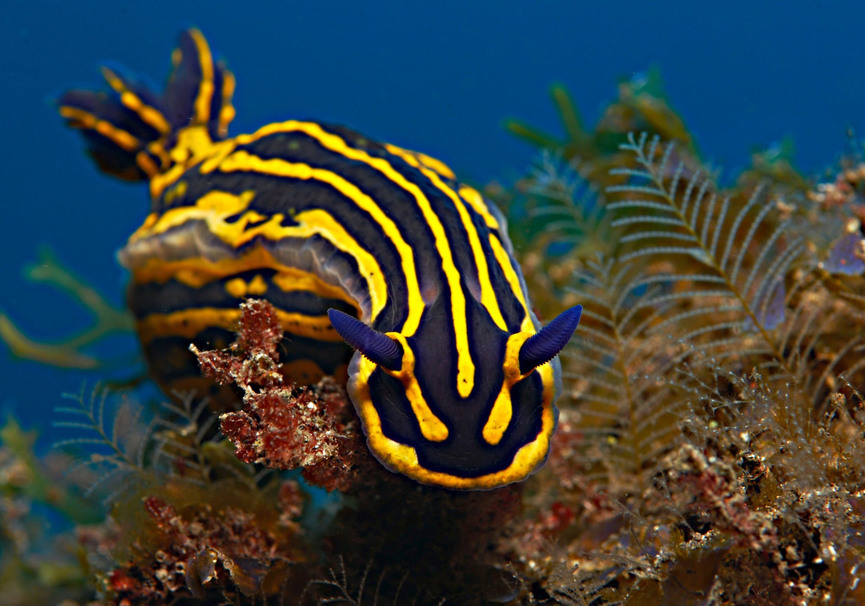 Medium nudibranciow small
