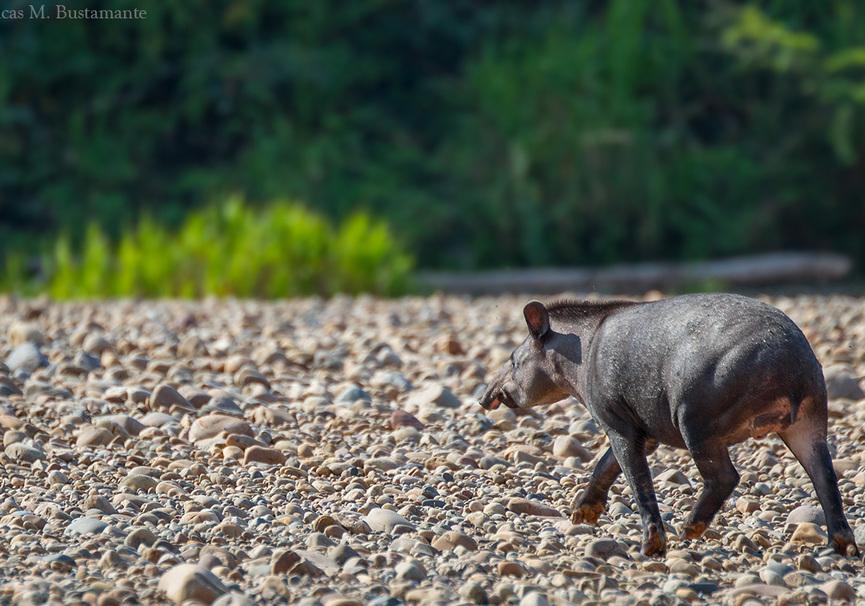 Medium lb   tapir