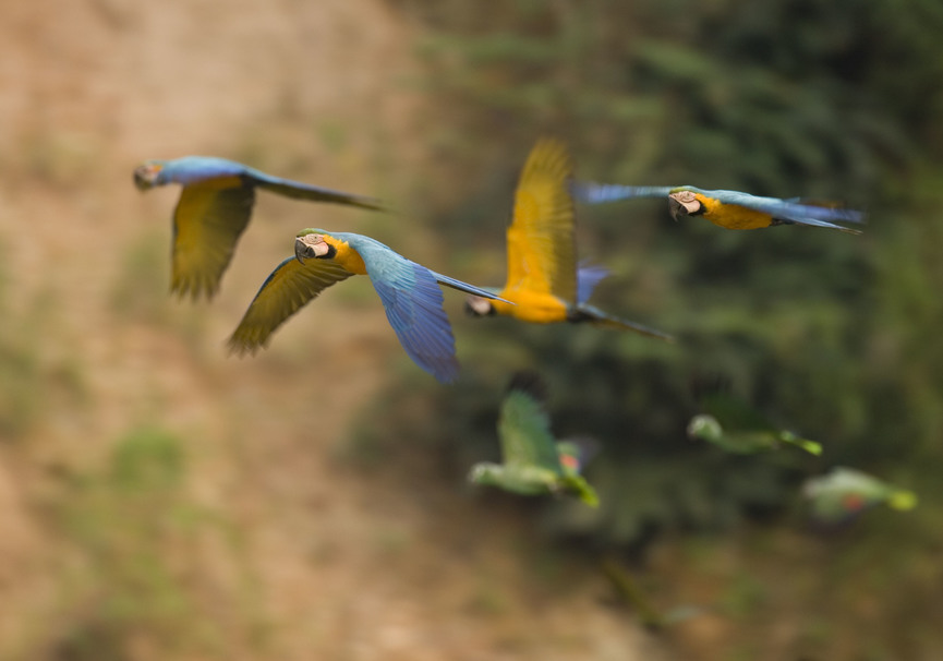Medium muc   blue and gold macaws