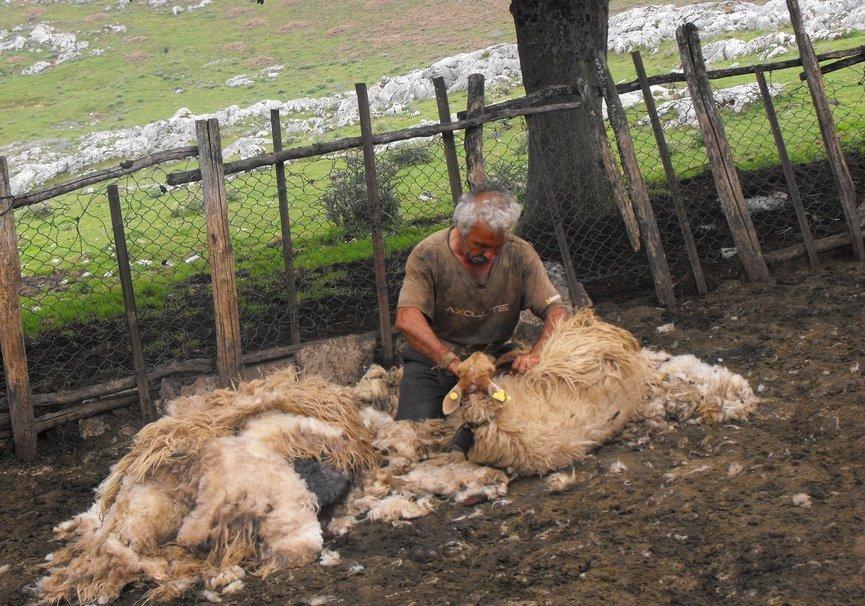 Medium esquilando las ovejas